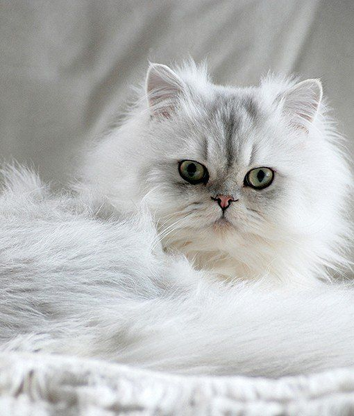 WHAT ARE THE PROS AND CONS OF HAVING A CHINCHILLA PERSIAN?