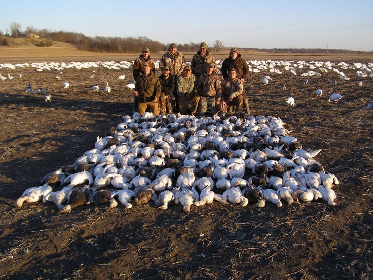 With our highly skilled professional staff ,you're in good hands spring snow goose hunting in Missouri. http://www.showmesnowgeese.com/snow-goose-hunts/ @snow goose hunting