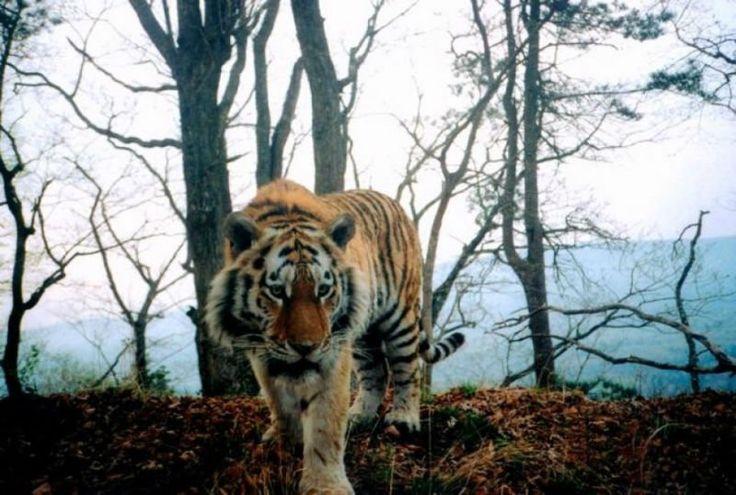 A través de la aprobación de la construcción de un nuevo Parque Nacional, China salvará tigres siberianos, especie en peligro de extinción.