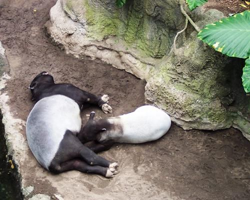 Tapirs — A tapir may appear to be a cross between a pig and an anteater, but it's actually most closely related to horses and rhinos and shares a similarly long gestation period. A tapir calf is born after 13 months in the womb. Newborns have special brown- and beige-striped markings that help camouflage them from predators, but the pattern fades after a few months when the young tapir becomes more mobile.