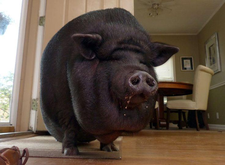 Dieses Bild zeigt das Hängebauchschwein Buttercup: Das Tier lebt seit 2012 bei...