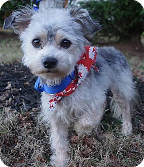 Poodle (Toy or Tea Cup)/Schnauzer (Miniature) Mix Dog for adoption