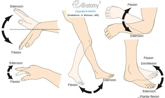 Flexion / Extension - Flexion plantaire / Dorsiflexion (Anatomie humaine : Mouvements) : Diagramme - Illustrations : Dr. A. Micheau, e-anato...