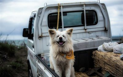 Scarica sfondi giapponese razza, cane, akita inu, pickup, amori prefettura