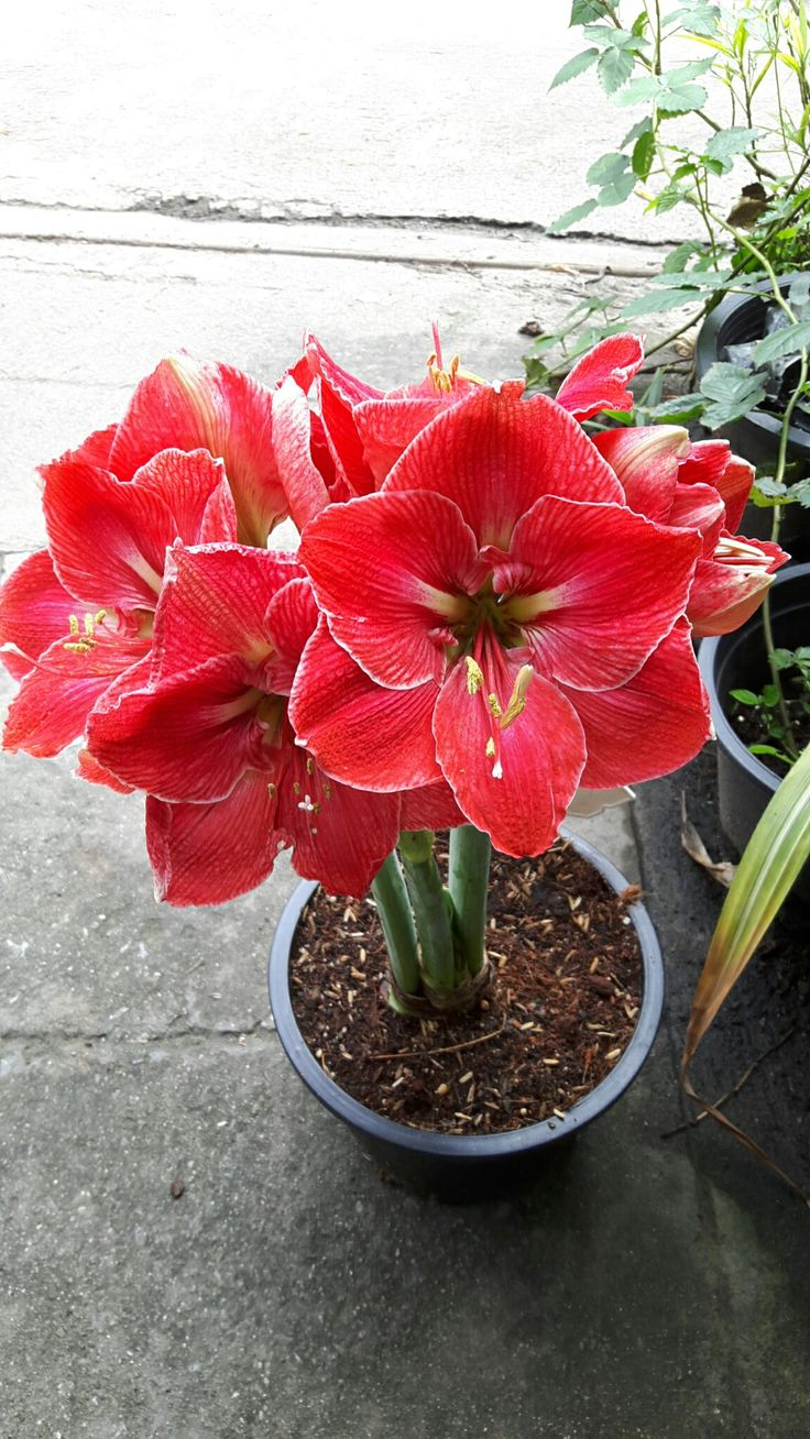 Amaryllis Magic Touch
