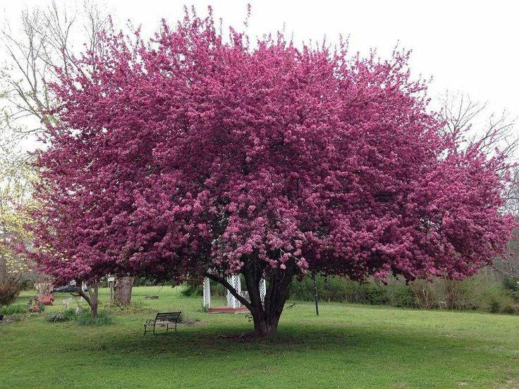 34 best shrubs images on pinterest garden plants flower for Pink small tree