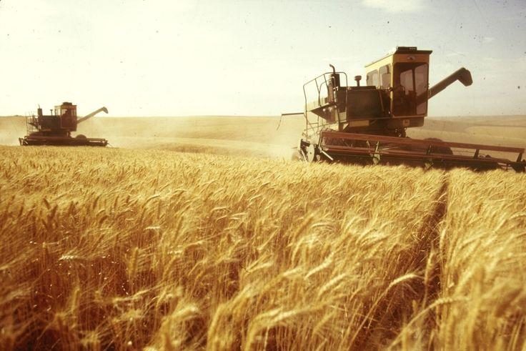 grain harvesting wheat