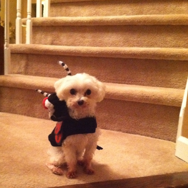 My own Tino on Halloween :) he was a lady bug <3