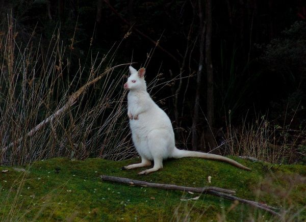 Bruny Island white wallaby. Photo Dan Fellow (Tasmania Photos) and article for think-tasmania.com #Wildlife #BrunyIsland #Tasmania
