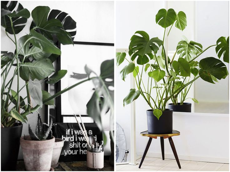 Fingerfilodendron (Monstera deliciosa) - Google-søgning