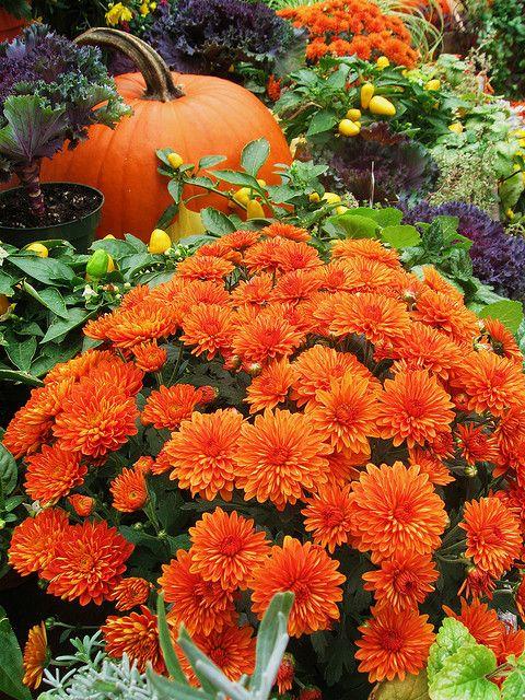 Vibrant Orange Mums