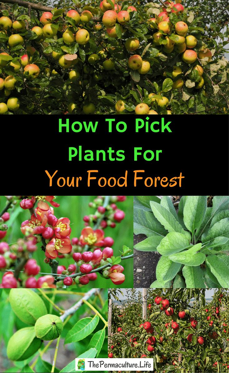 A food forest (or forest garden) is a great way to supplement your pantry.  Once you decide to build one, which plant species to pick for which area?#thepclife #permaculture #foodforest