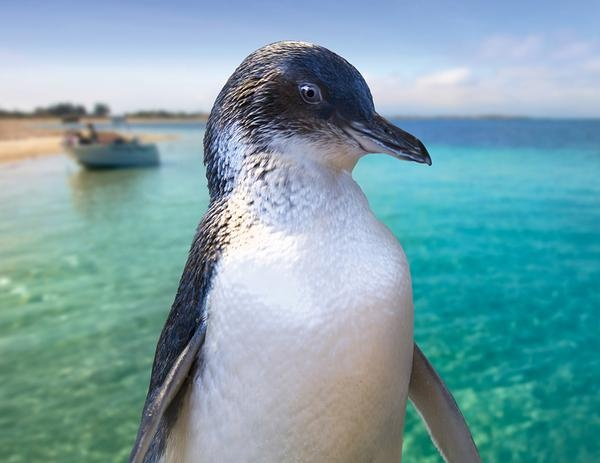 Penguin Island and Dolphin Watch Adventure Cruise - Shoalwater, WA