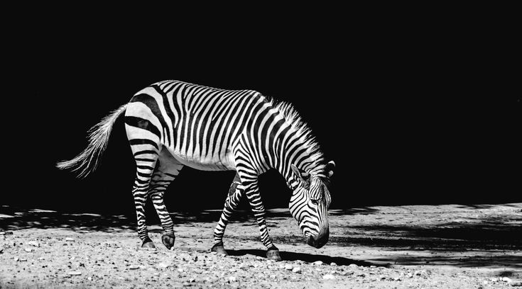 #africa #animal #black and white #black and white #equine #herbivore #mammal #park #pattern #portrait #reserve #safari #savanna #shadow #stones #stripe #stripes #walking #wild #wildlife #zebra #zebra crossing #zoo