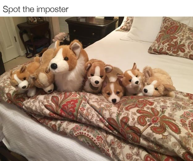Best Corgi Meme Ideas On Pinterest Funny Puppies Puppy Meme - These baby corgis running in slow motion are the most hilariously adorable thing in the world