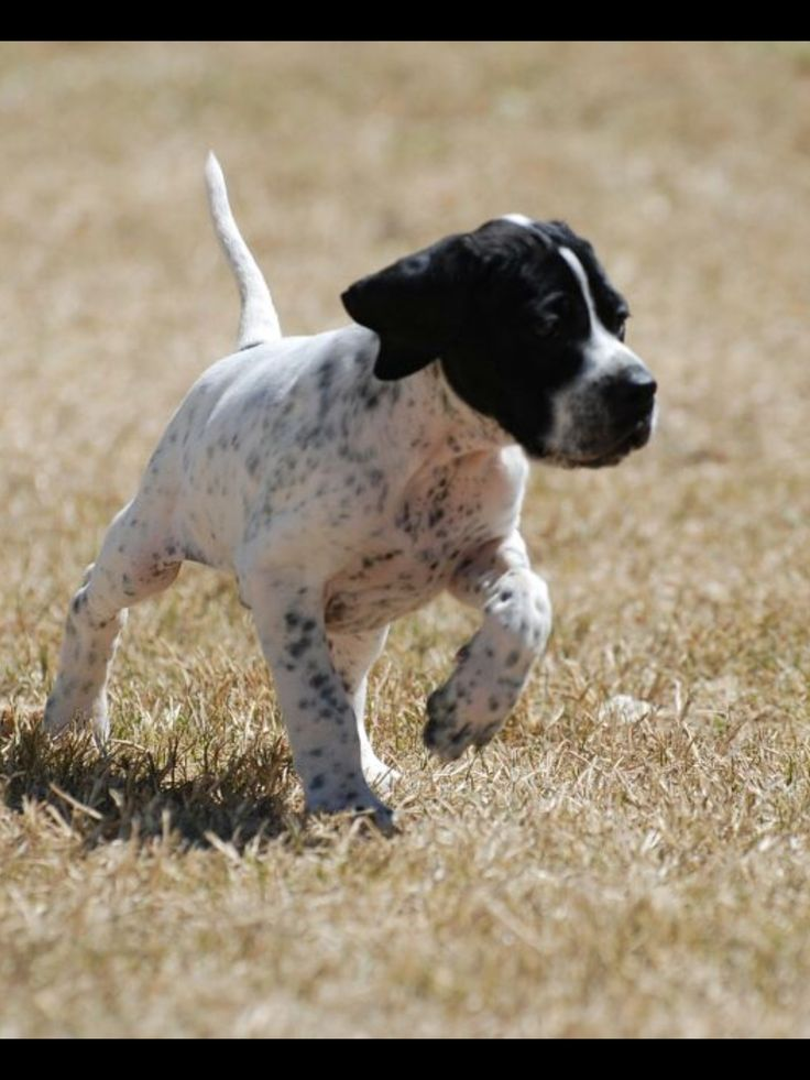 Typical pin point gun dog a t 6 weeks on point
