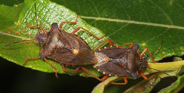 Mating Forest Shield Bugs (pentatoma rufipes) by Jon Law (Improvedimage.co.uk), via Flickr