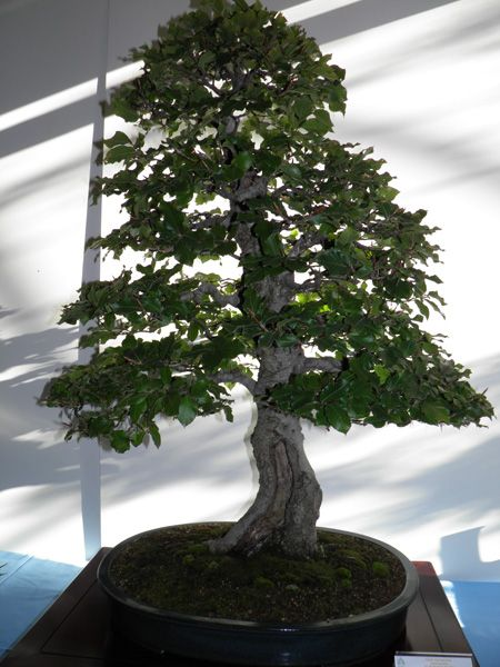 384 best images about bonsai on pinterest bonsai trees - Bonsai de haya ...