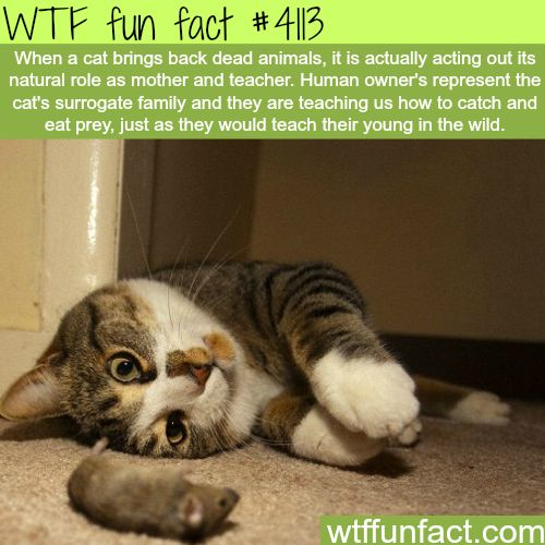 Why cat brings dead animals back - WTF fun facts | They're trying to take care of us so we don't starve to death. Much like the leopard seal who kept bringing an underwater photographer penguins.