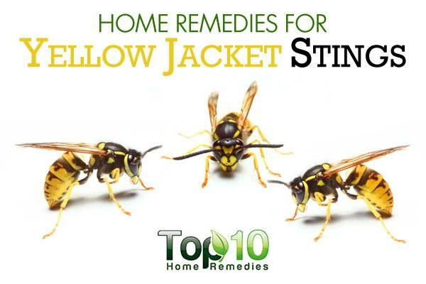 Home Remedies For Yellow Jacket Stings Top 10 Home Remedies Yellow Jacket Sting Yellow Jacket Sting Treatment Remedies For Bee Stings