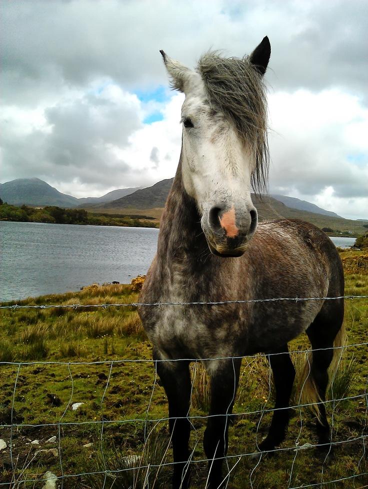 Conamara pony in the Republic