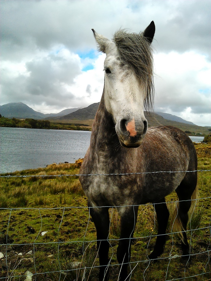 Conamara pony in the Republic