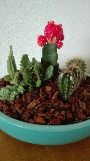 Cactussen mooi duurzaam kleurig op tafel