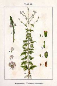 Vervain Herb Uses, Side Effects and Health Benefits