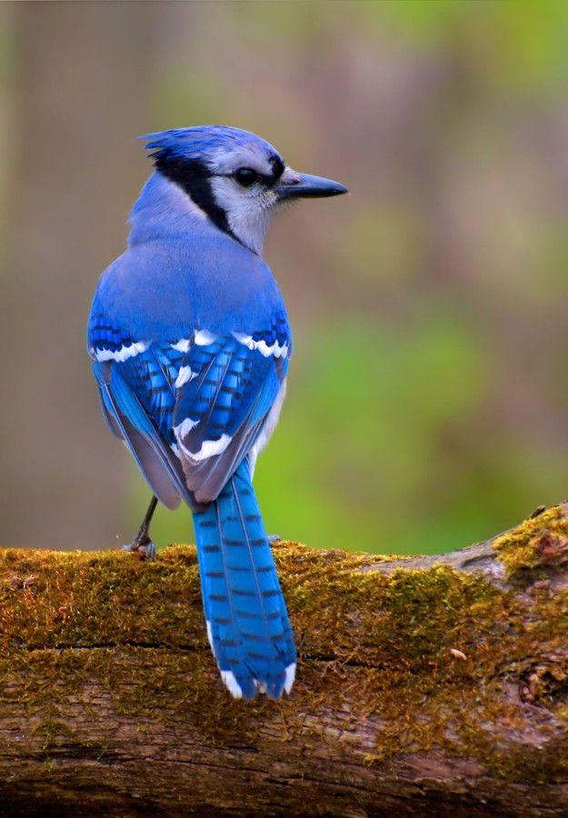 Lookback in all his blue finery