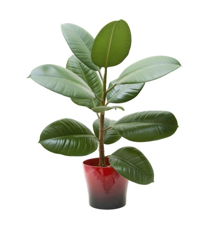 Rubber trees are common houseplants but also grow outdoors in U.S. Department of Agriculture plant hardiness zones 10 through 12. Whether a rubber tree is poisonous to pets depends on the type of tree. Some types of rubber trees are harmless, while others are toxic to cats and dogs.