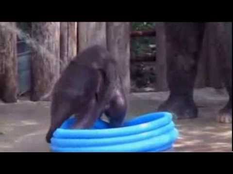 RAW VIDEO  Baby Elephant Plunges Into Pool at the Fort Worth Zoo