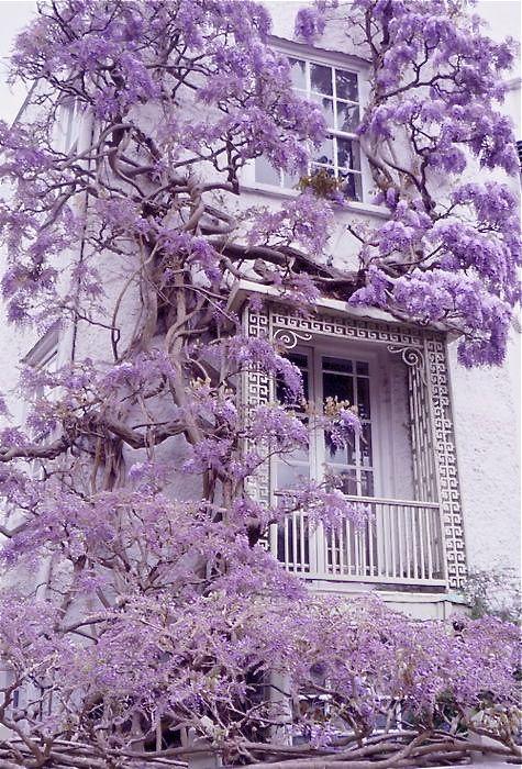climbing wisteria