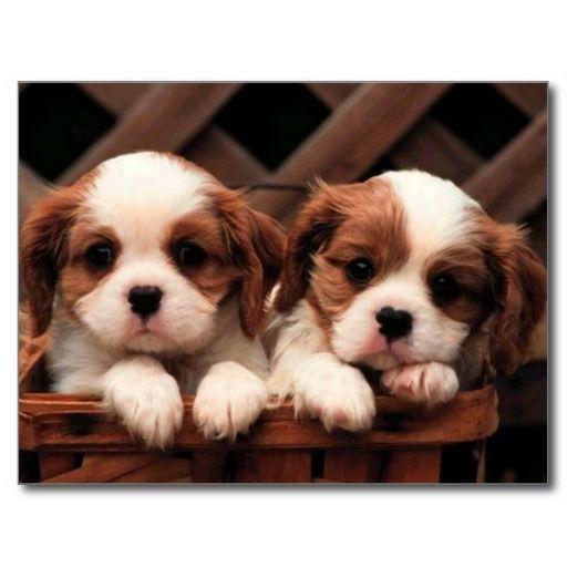 Puppy Pictures Postcard | Zazzle.com – Belle