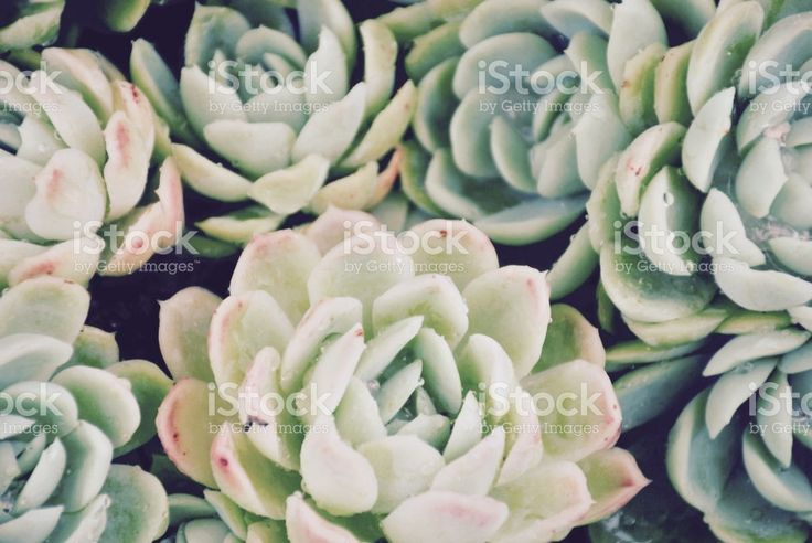 'Hens and Chicks' Succulent, Filtered royalty-free stock photo