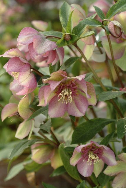 Hellebores (Lentin Rose) A must have for any garden. There is a variety which produces light green flowers - very pretty and unusual.