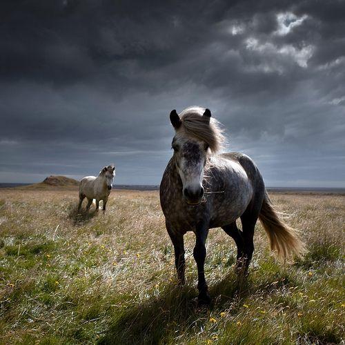 Icelandic horses  Source : paganroots