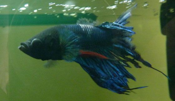 17 best images about sick betta fish on