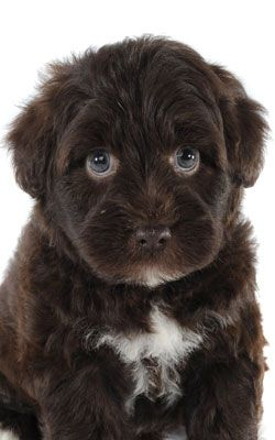 a Schnoodle....cross between Schnauzer and Poodle!                              …
