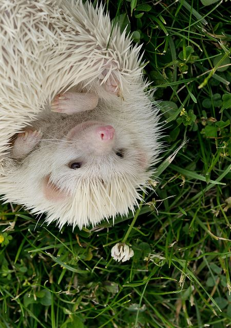 Albino hedgie!