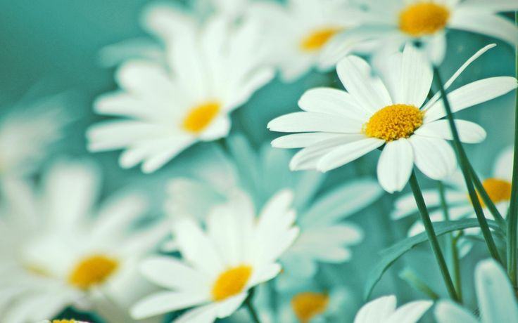 I hope you like daisies, like me. I hope you enjoy the photos below. I share with you, daisy flower photos in this article.