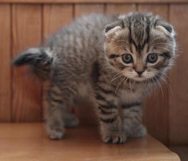 The Scottish Fold – Owl Cat Extraordinaire ~     www.catsandme.com         ♥ ♥ Please feel free to repin ♥♥
