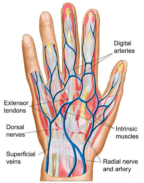 Dorsal hand tendon nerve artery vein anatomy   Anatomy