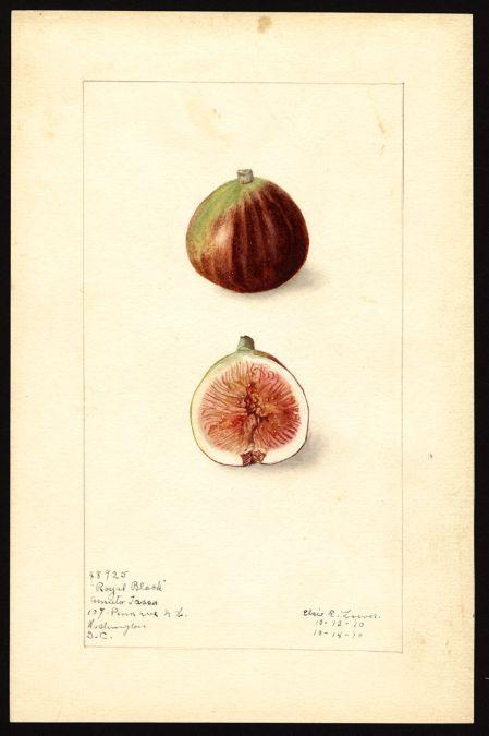 Royal Black Figs, watercolor botanical illustration, Elsie E Lower, 1912 (via…