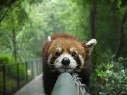 kleine rode panda - haha