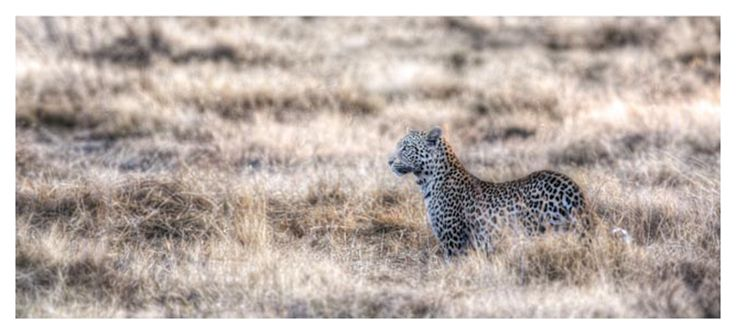 panoramic print of a leopard in long grass