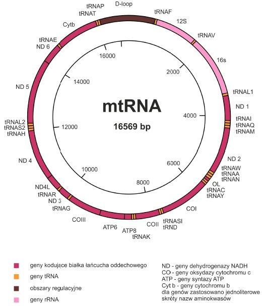 Genom mitochondrialny :: Biotechnologia: e-biotechnologia.pl :: Biotechnologiczny Portal Internetowy-aktualności, artykuły, laboratorium, studia biotechnologiczne.