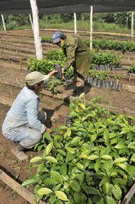 Cafe. De este vivero depende el fomento de las áreas de cultivo. Foto:Gilberto Rabassa