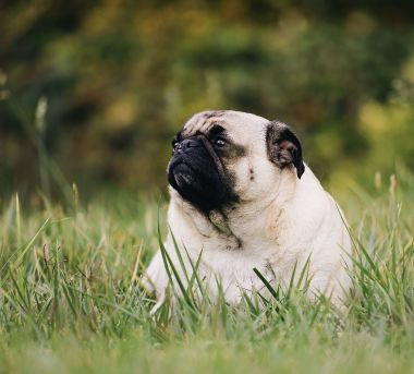 Pug Cute Dog Names Ideas For Your Future Puppy Find Up To Date