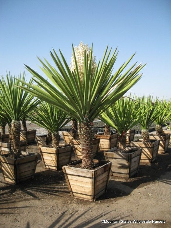 25 best ideas about yucca plant on pinterest barrel cactus cactus with flowers and yucca tree. Black Bedroom Furniture Sets. Home Design Ideas