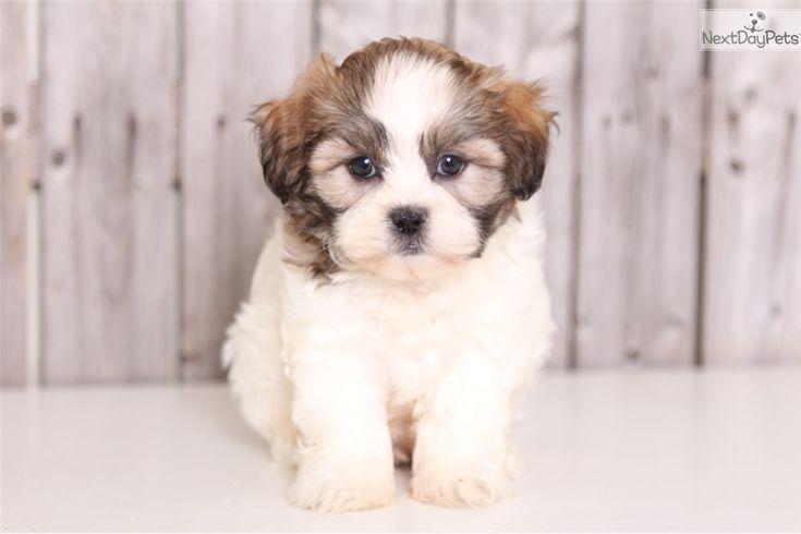 Shichon puppy for sale near Columbus, Ohio | ab0e9f50-f2c1